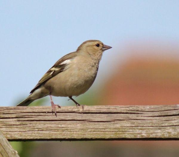 Chaffinch Bird Animal Themes Vertebrate Animal One Animal Wood - Material Animal Wildlife