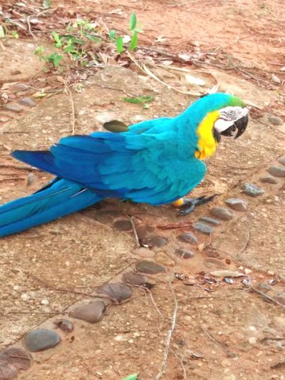Close-up of blue parrot perching on wood