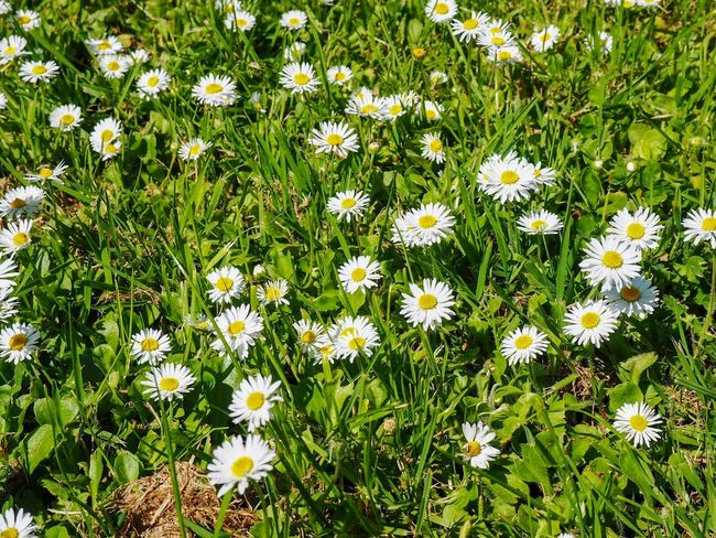 Flowerbed Spring Springtime Nature Flowerbed Flowering Plant Flower Plant Fragility Beauty In Nature Vulnerability  Freshness Green Color Field Growth Nature Flower Head Daisy No People Petal