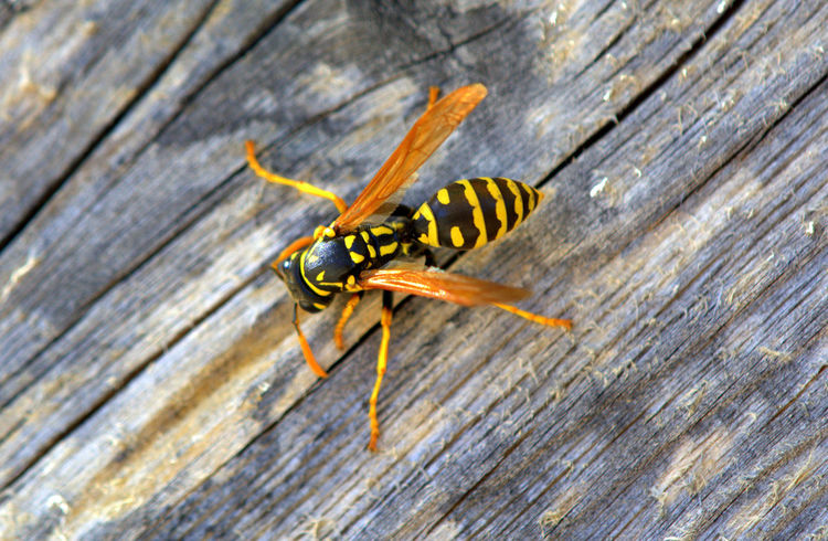 Animal Themes Animal Wildlife Animals In The Wild Close-up Day Insect Nature No People One Animal Outdoors Wasp Wasp Macro Wasps🐝 Wood - Material Yellow