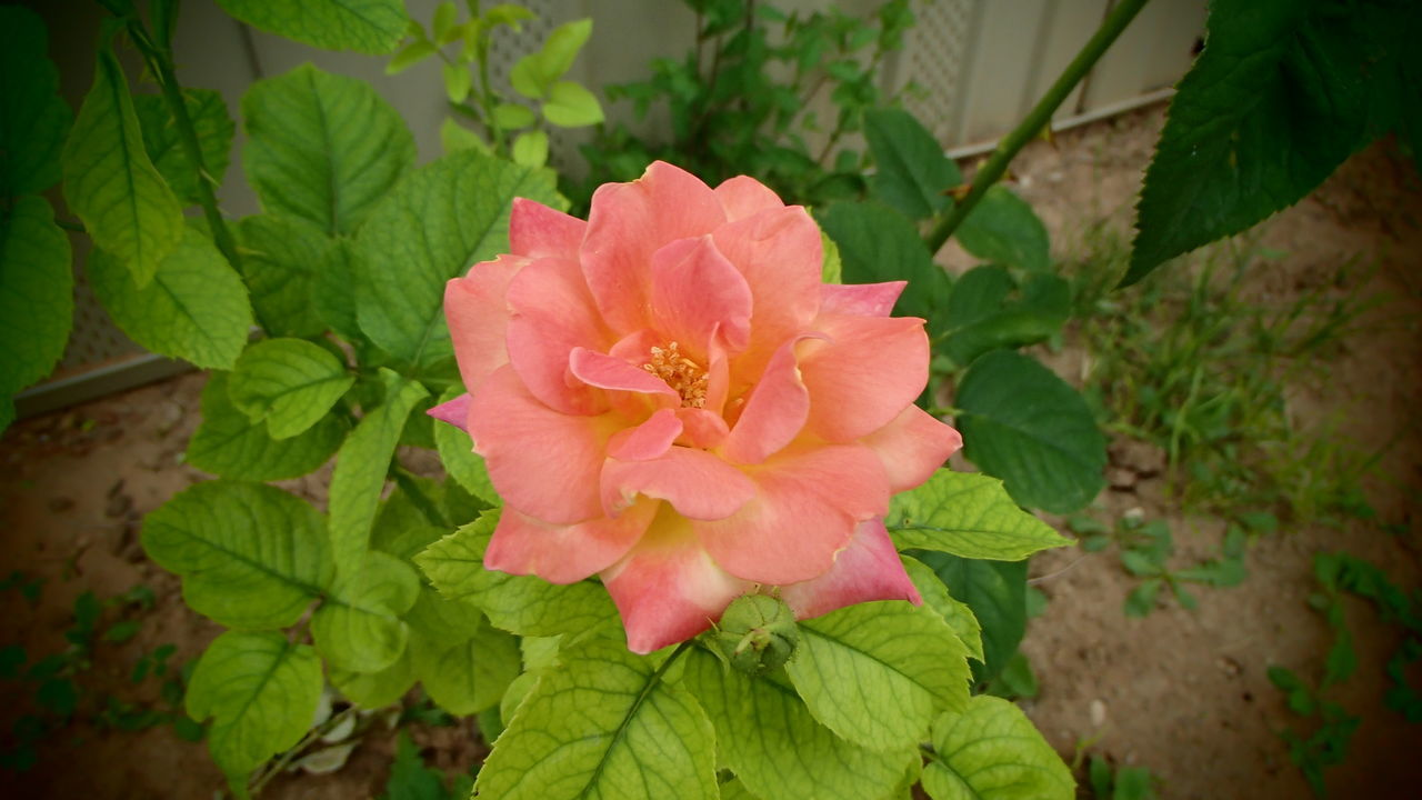 flower, petal, nature, flower head, plant, leaf, beauty in nature, growth, fragility, blooming, pink color, freshness, no people, green color, wild rose, outdoors, close-up, day, periwinkle
