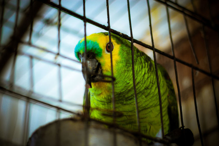 Animal Themes Bird Cage Caged Close-up Day Green Color Indoors  No People One Animal Parrot