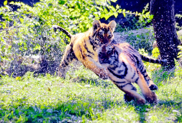 Tiger cubs splashing around water! Animal Animal Behavior Animal Head  Animal Themes Day Dog Domestic Animals Grass Herbivorous Mammal Motion Nature No People One Animal Outdoors Pets Side View Splash Splashing Tiger Cub Tranquility Water Zoology