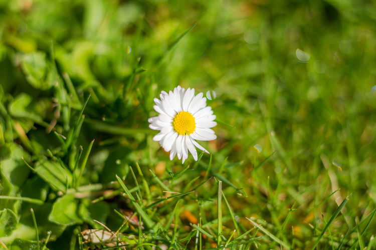 Close-up of white daisy flower on field