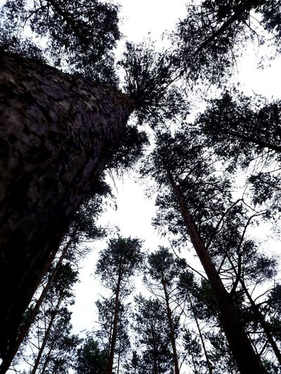 Lopohova forest 6m Poland. Poland Nature Forest Clear Sky WoodLand Low Angle View