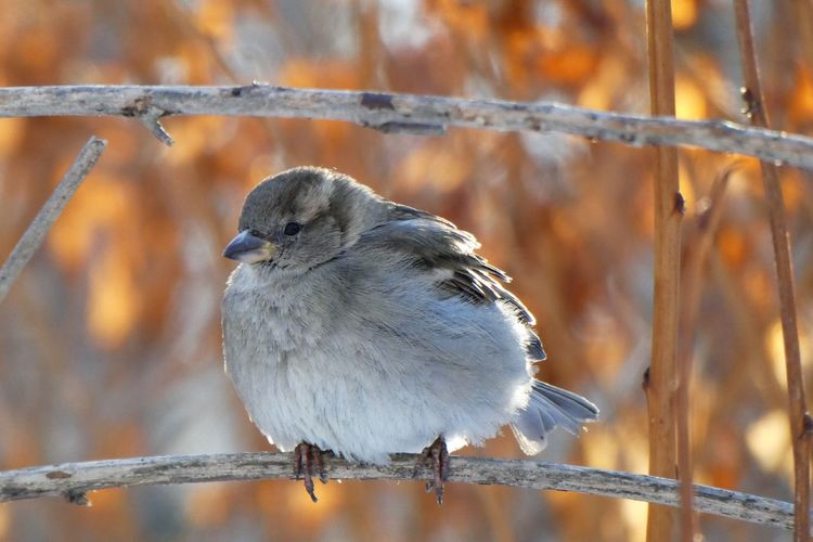 Bird Animal Themes Animal Animal Wildlife Animals In The Wild Vertebrate One Animal Perching Tree No People Nature Day Branch Focus On Foreground Close-up Outdoors Sparrow Sparrow Bird