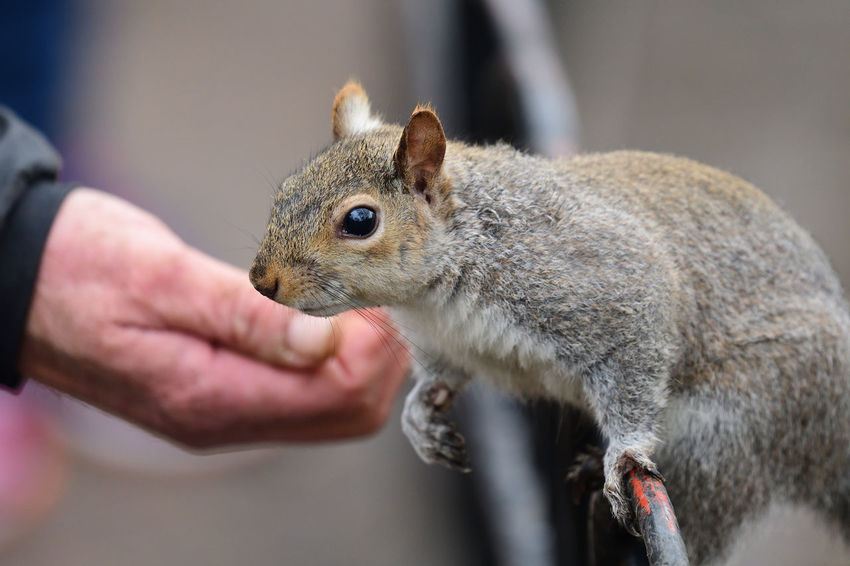 Animals In The Wild Check This Out Eating EyeEm Best Shots EyeEm Nature Lover Nature Nature Photography Squirrel Taking Photos Animal Themes Animal Wildlife Beauty In Nature Close-up Cute Day Grey Squirrel Hand Nature_collection One Animal One Person Outdoors Park Portrait Rodent Wildlife