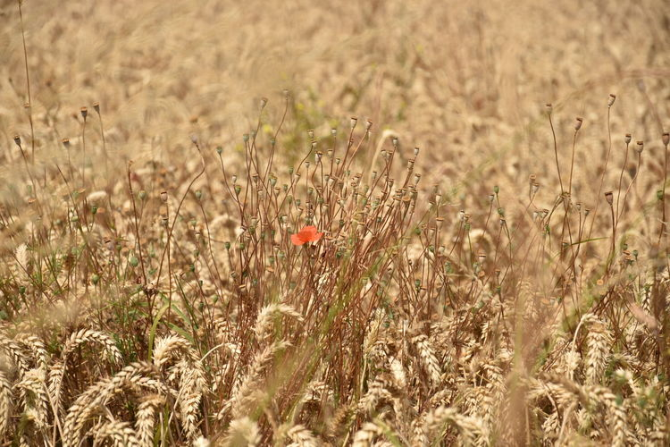 Agriculture Beauty In Nature Cereal Plant Crop  Day Farm Field Focus On Foreground Freshness Growth Land Landscape Nature No People Outdoors Plant Poppy Red Rural Scene Selective Focus Tranquility