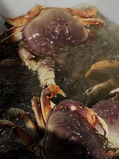 Water Swimming Freshness Waterfront Nature Crab Season! Crabs SeattleGamble Washington Ready-to-eat Swimming Crab
