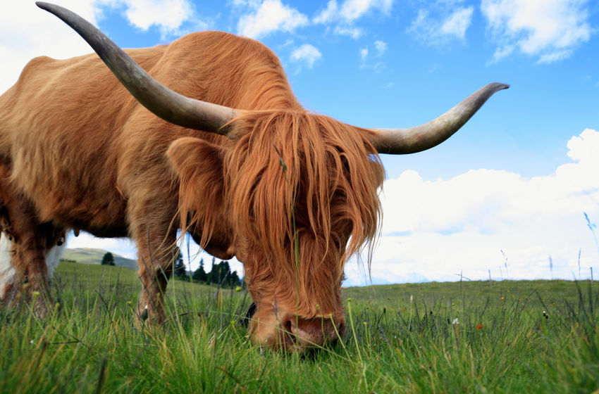 highland cow Highland Cattle Animal Themes Brown Cattle Close-up Cloud - Sky Cow Day Domestic Animals Farm Animal Field Grass Grazing Highland Cattle Highland Cow Landscape Livestock Mammal Nature No People One Animal Outdoors Scottish Highlands Sky Summer
