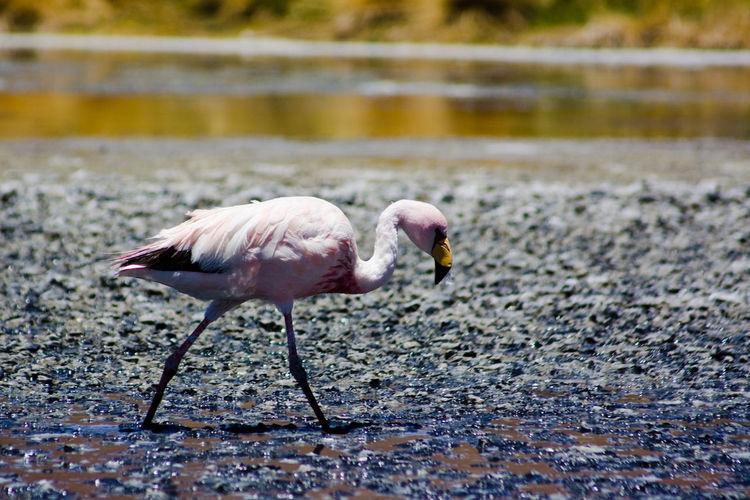 Andes Bolivia Flamingo A Andes Life Latinoamerica Mountain Life Mountains Pink Lagoon South America