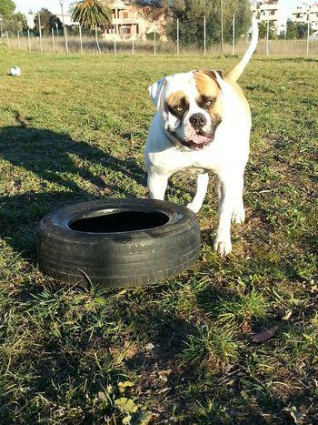 I Love My Dog Bulldog American Bulldog Bulldog Americano Congo Bullylove Wow *-* Super Dog American Superdog