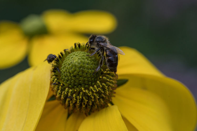 i like this even better than the other photo Fly Animal Themes Animal Wildlife Animals In The Wild Beauty In Nature Bee Close-up Day Flower Flower Head Fragility Freshness Growth Insect Nature No People Outdoors Petal Plant Pollen Pollination Two Animals Yellow