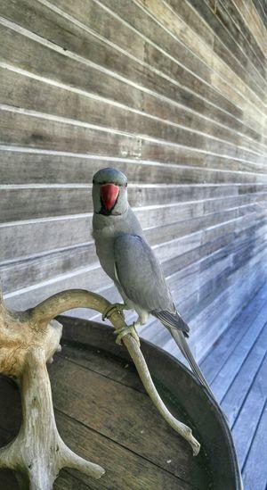 Parrot Maldives 2016 Maldives Bird Photography Birds Travel Photography Islandlife Animals Nature Lover Beauty In Nature Travel EyeEmRussianTeam