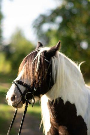 EyeEm Selects Portrait Pets Paddock Horse Close-up Mane Working Animal Pony Ear Herbivorous Grazing