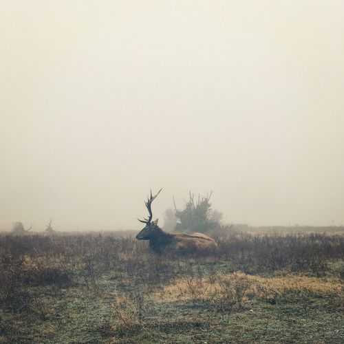 Scenic View Of Stag In Field