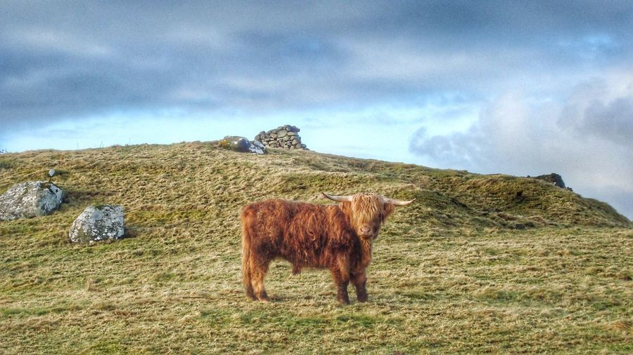 Highland cattle Highland Cattle Highlands Cow Vache Vache écossaise Scotland Isle Of Skye Animal Grass