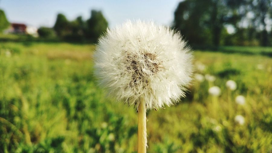 Pusteblume Nature Nature_collection Naturelovers Blume Pusteblume Pusteblumen Löwenzahn Blowball Blowball Dandelion Flower Head Flower Uncultivated Dandelion Close-up Sky Plant Grass Wildflower In Bloom Blossom Pollen Focus Plant Life