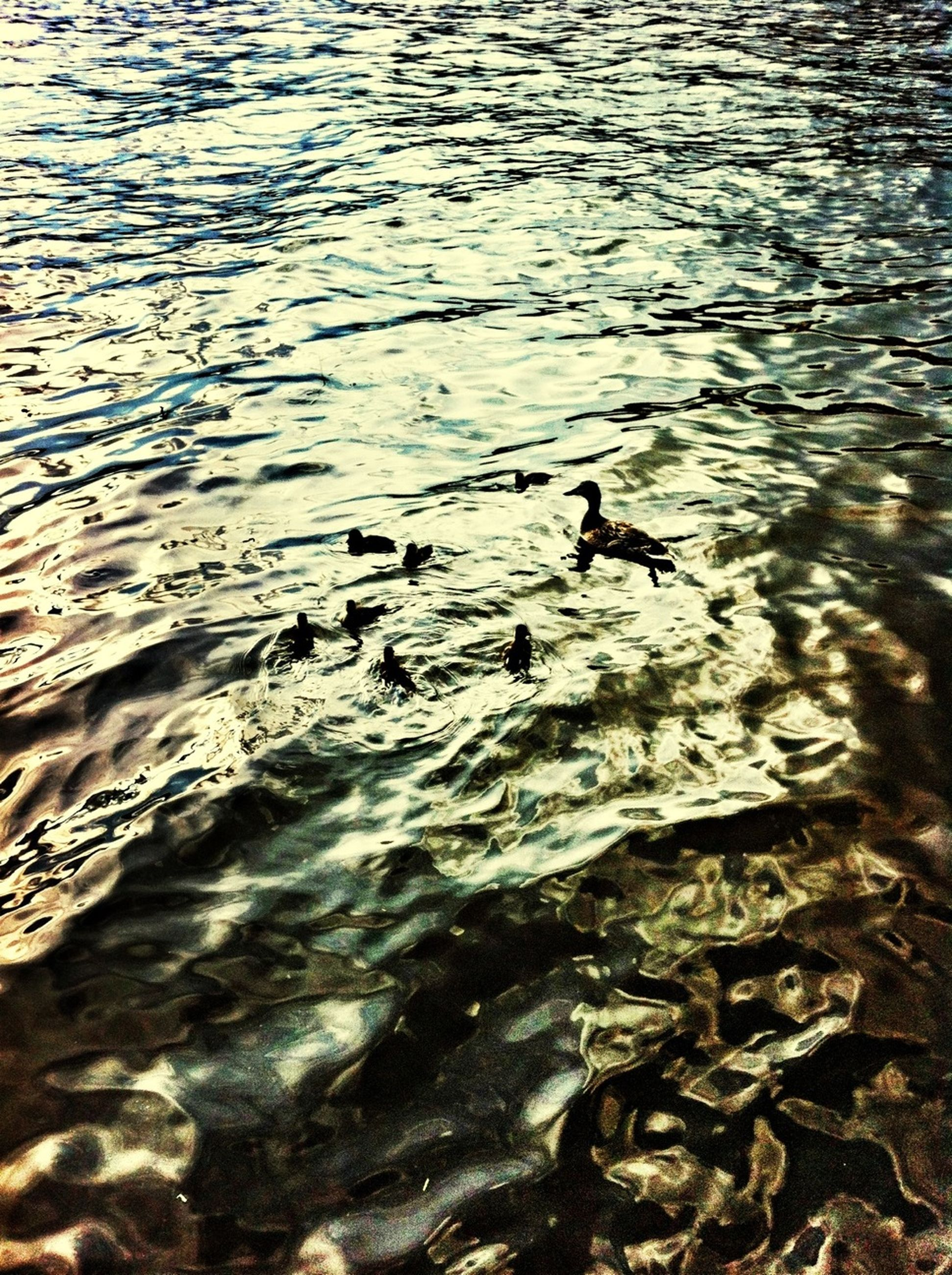 bird, animal themes, animals in the wild, wildlife, water, duck, high angle view, rippled, lake, swimming, waterfront, nature, seagull, outdoors, water bird, reflection, river, day, no people