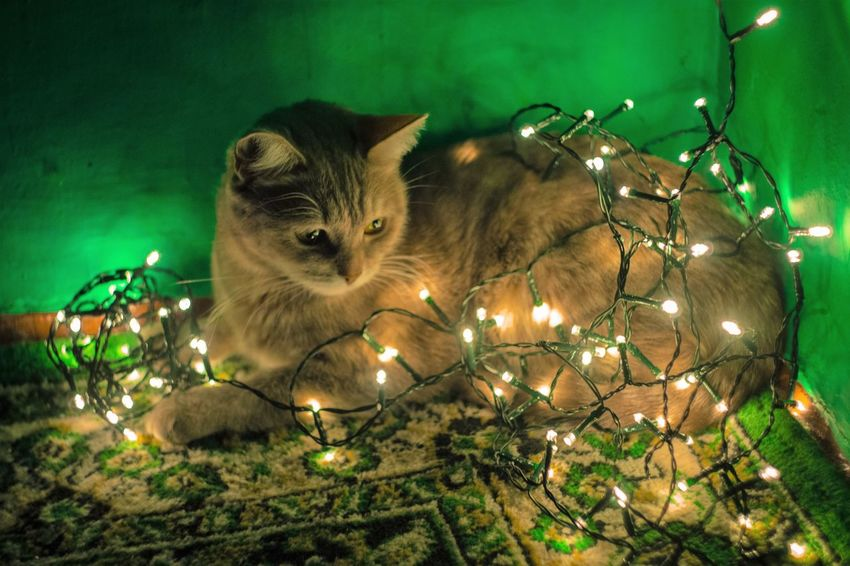 Garland Lights Animal Themes Close-up Domestic Animals Domestic Cat Feline Illuminated Indoors  Mammal Night No People One Animal Pets
