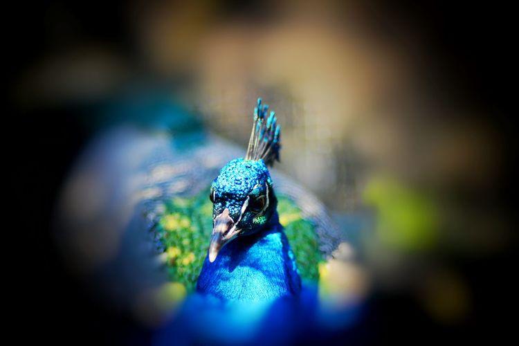 Pfaueninsel Pfau Peacock Blue Bird Springtime Spring Berlin Nature