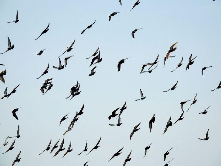 Birds Flock Flight Flyingbirds Flying Bird Sky