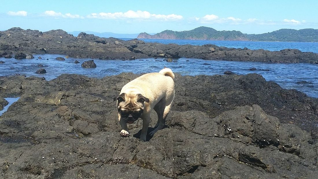 Nature Mammal Outdoors No People Landscape Animal Themes Enjoying Life Hello World Out For A Walk Pug Life  Pug Life  Costa Rica Furbaby Walk Nature Water Dog Beach Beachphotography Beach Photography Dog Love Dogs Of EyeEm Fit