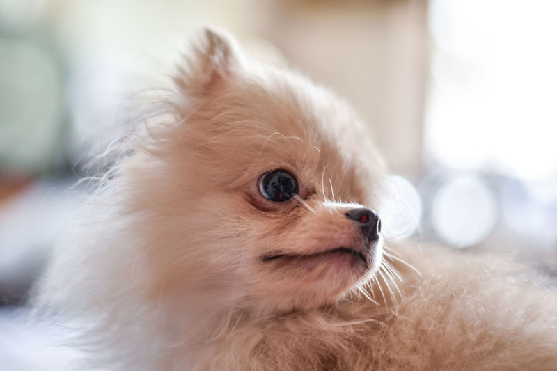 Light brown Pomeranian puppy looking to the right with soft focus background Animal Themes Mammal Domestic One Animal Animal Pets Domestic Animals Close-up Focus On Foreground Animal Body Part Vertebrate Looking Animal Head  No People Looking Away Young Animal Indoors  Hair Canine Animal Hair Small Pomeranian Whisker Chihuahua - Dog Pomeranian Puppy Dog Doggy Cute Adorable Happy Bokeh Light And Shadow Brown Fluffy Blurred Background