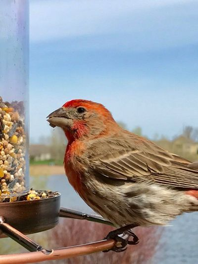 Bird Food Animal Themes One Animal Food And Drink No People Perching Animals In The Wild Day Animal Wildlife Outdoors Nature Close-up Eating Freshness Bird Photography Bird Feeding House Finch Finch