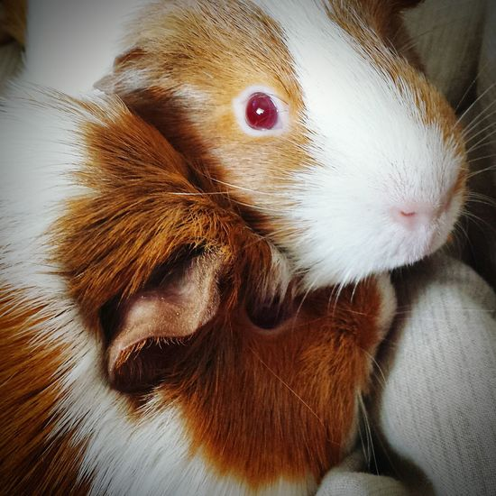 Perfect Match Lovemypigs Guinea Pig Mumanddaughter Pip Squeak Piggy