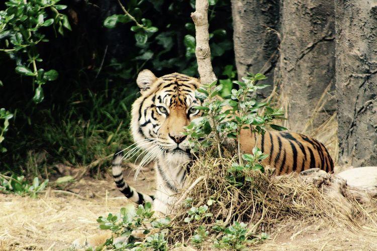 Tiger by zebra