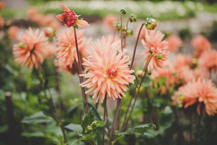 Dahlia flower Beauty In Nature Blooming Close-up Day Flower Flower Head Focus On Foreground Fragility Freshness Growth Nature No People Outdoors Petal Plant