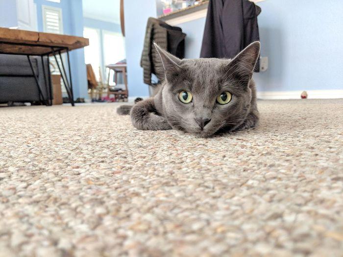 Floor Cat Kitty
