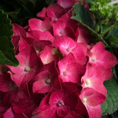 Love this raspberry Hydrangea 💕💕💕 Summer 2017 🏊🌞 Hydrangea Outdoor Photography Flower Head Flowerporn Flowers,Plants & Garden Flowers, Nature And Beauty Flower Collection Flower Photography