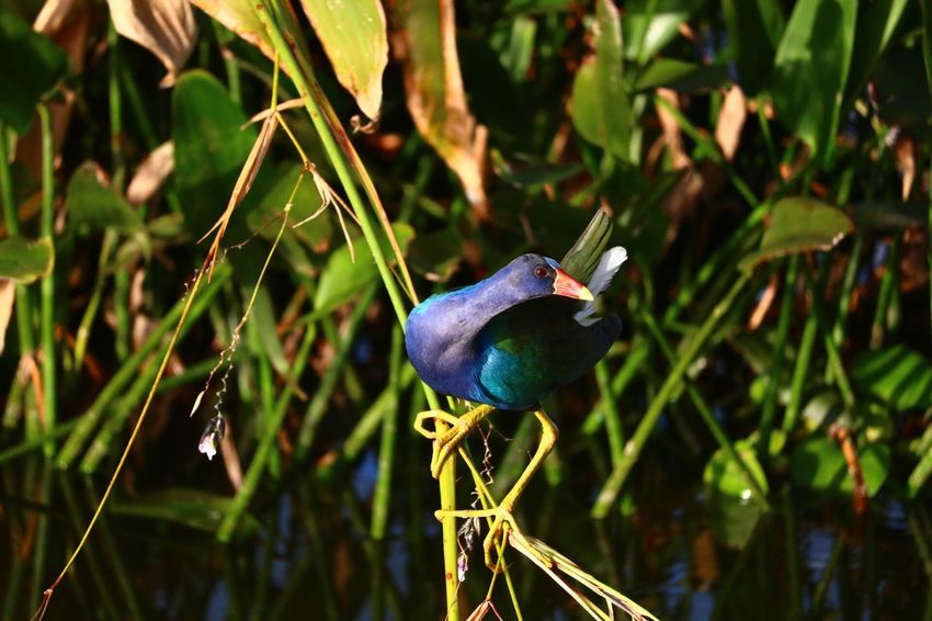 Blue Bird Animals In The Wild Plant Perching Marshes Marsh Marshland  Birds_n_branches Birdporn Birds Of EyeEm  Birds🐦⛅ Birdfreaks Bird Photography Birdwatching Birds_collection No Edit No Filter EyeEm Best Shots Canonphotography Tadaacomunity Taking Photos Check This Out Canon T6i Camera