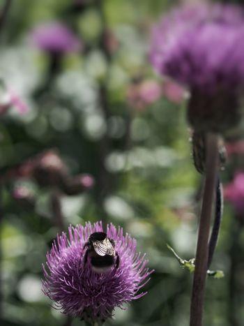 Bumblebee Flower M.Zuiko 45mm 1:1,8 Humla Blomma
