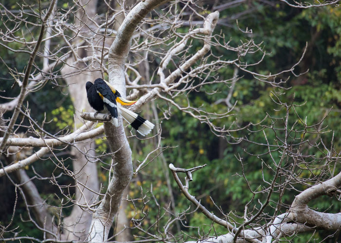 Buceros bicornis The great hornbill or great Indian hornbill/great pied hornbill, is one of the larger members of the hornbill family. Its impressive size (95–130cm/37–51in long, with a 152cm/60in wingspan and a weight of 2.15–4kg/4.7–8.8lb) and colour have made it important in many tribal cultures and rituals. It's long-lived, living for nearly 50 years in captivity. During the breeding season, female builds a nest in the hollow of a large tree trunk, sealing the opening and remains imprisoned there. Then it relies on the male to bring her food, until the chicks are half developed. Buceros Bicornis Great Pied Hornbill Hornbill The Great Hornbill Bird Great Indian Hornbill Large Bird Long-lived Bird