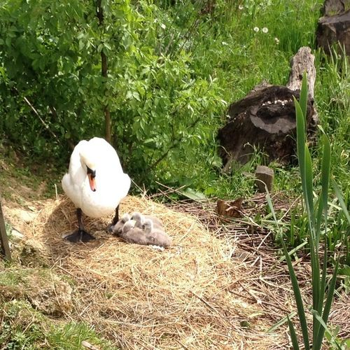 Naturelovers Nature Photography Nature Swan Swans ❤ Babies