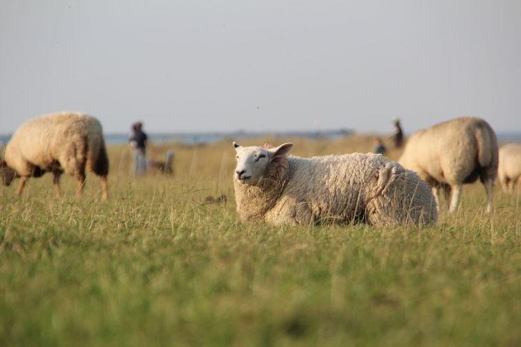 Sheeps graze on the dike Sheep Grazing Dike Seaside Animals Animals Posing Mammal Animal Animal Themes Livestock Grass Domestic Animals Field Land Domestic Vertebrate Pets No People