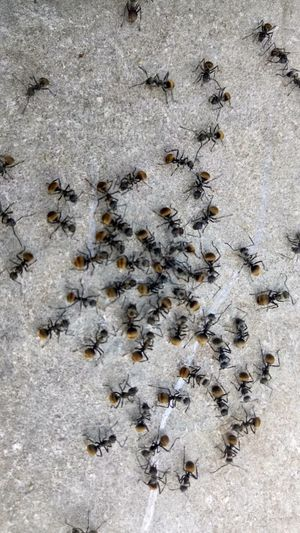 Large Group Of Animals Insect Ant High Angle View No People Animal ThemesIn Thailand Outdoors On Concrete Black Ants Colony Animal Wildlife