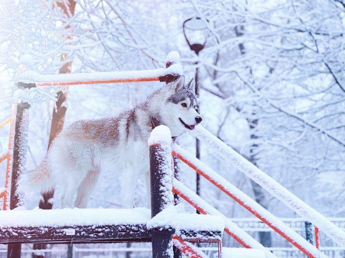 Сказочный Локи Ездовыесобаки хаски Хаски Из Сказки Winter Snow Cold Temperature Tree No People Nature Frozen Day Ice Animal White Color My Best Photo