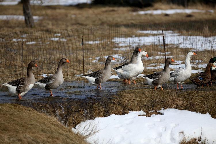 Flock of birds in frozen lake during winter