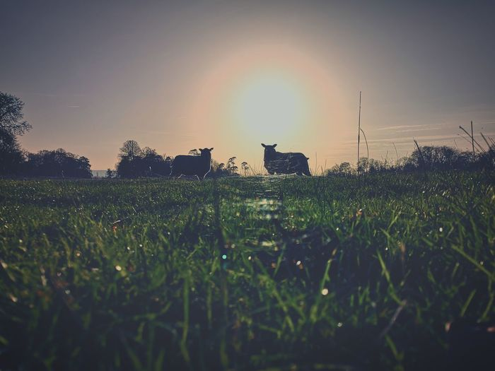 Surface level of grass on field against sky during sunset