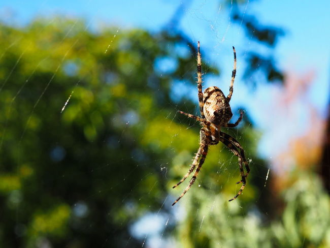 Spider Animal Animal Body Part Animal Leg Animal Themes Animal Wildlife Animals In The Wild Arachnid Arthropod Close-up Day Focus On Foreground Fragility Garden Spider Insect Invertebrate Nature No People One Animal Orbweaver Outdoors Selective Focus Spider Spider Web Web