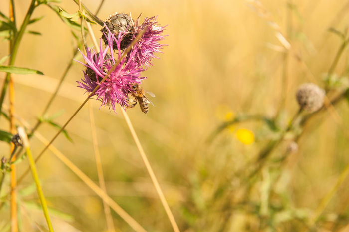 Bee dinner Beauty In Nature Blooming Blossom Botany Close-up Day Flower Flower Head Focus On Foreground Fragility Freshness Growth In Bloom Nature No People Outdoors Petal Plant Pollination Purple Selective Focus Softness Stem Thistle Tranquility