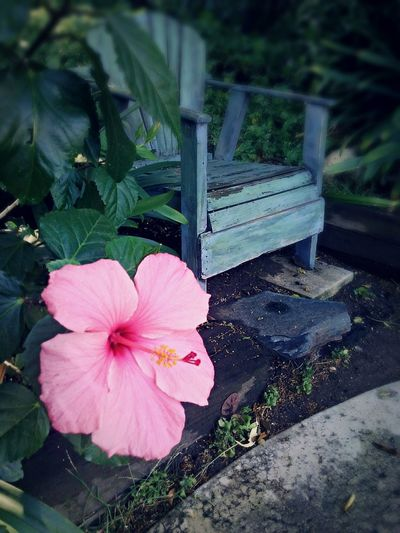 Hibiscus Hibiscus Flower Pink Color Outdoors No People Flower Head Backyard Garden Lounge Chair Shade