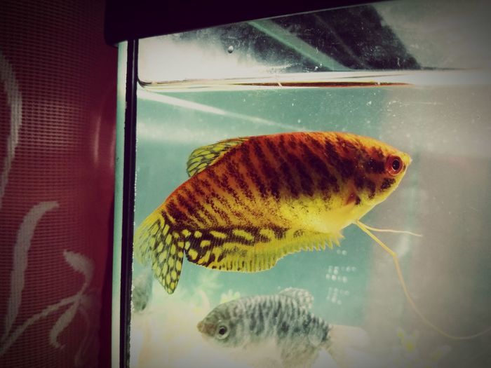 My fishes Gurami Life Tigris Capi Orange Black Blue UnderSea Sea Life Underwater Aquarium Water Window Insect Close-up Animal Themes Fish Tank Fish