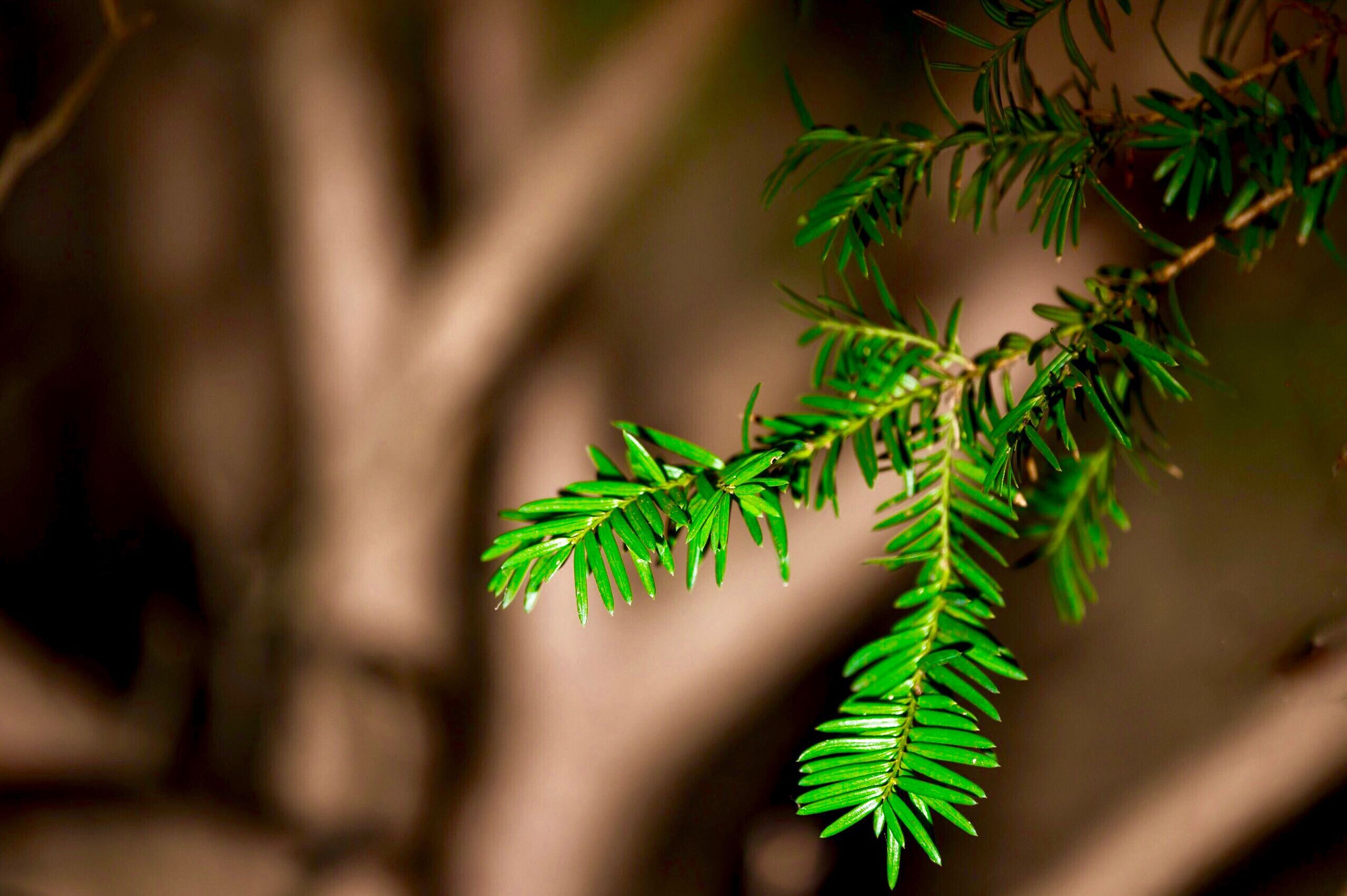 leaf, plant, green color, growth, close-up, nature, tree, no people, beauty in nature, outdoors, cannabis plant, day