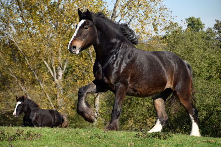 Shire Horse -