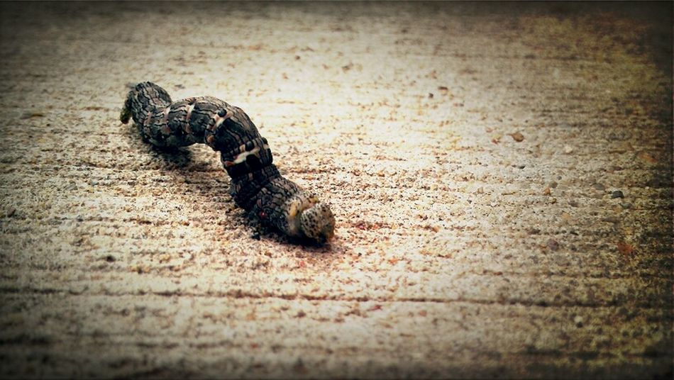 Macro Macro Week Bugs Insects  Catapiller
